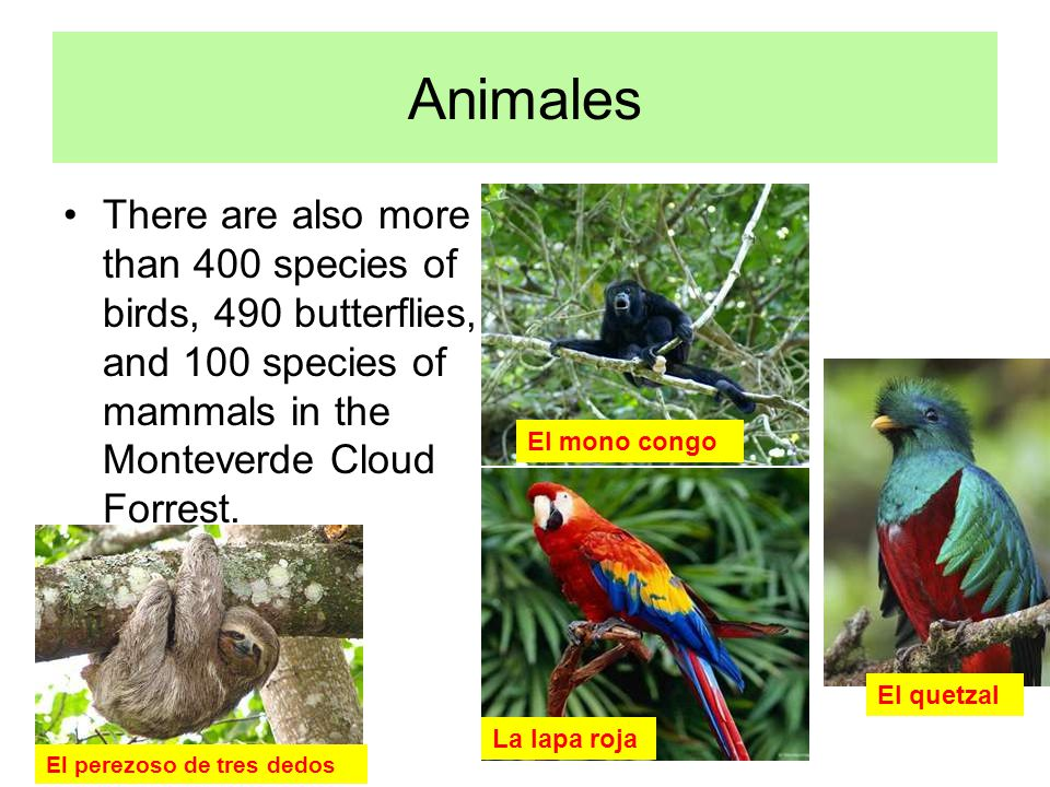 Animales There are also more than 400 species of birds, 490 butterflies, and 100 species of mammals in the Monteverde Cloud Forrest.