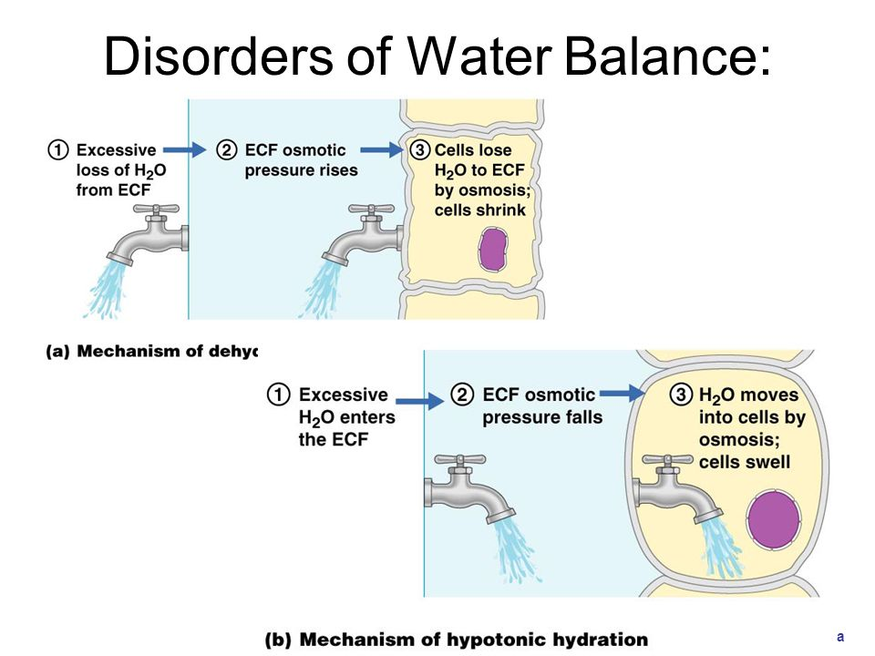 Electrolyte Balance Requires equal rates of gain and loss for each electrolyte in the body Electrolyte concentration directly affects water balance Concentrations of individual electrolytes affect cell functions