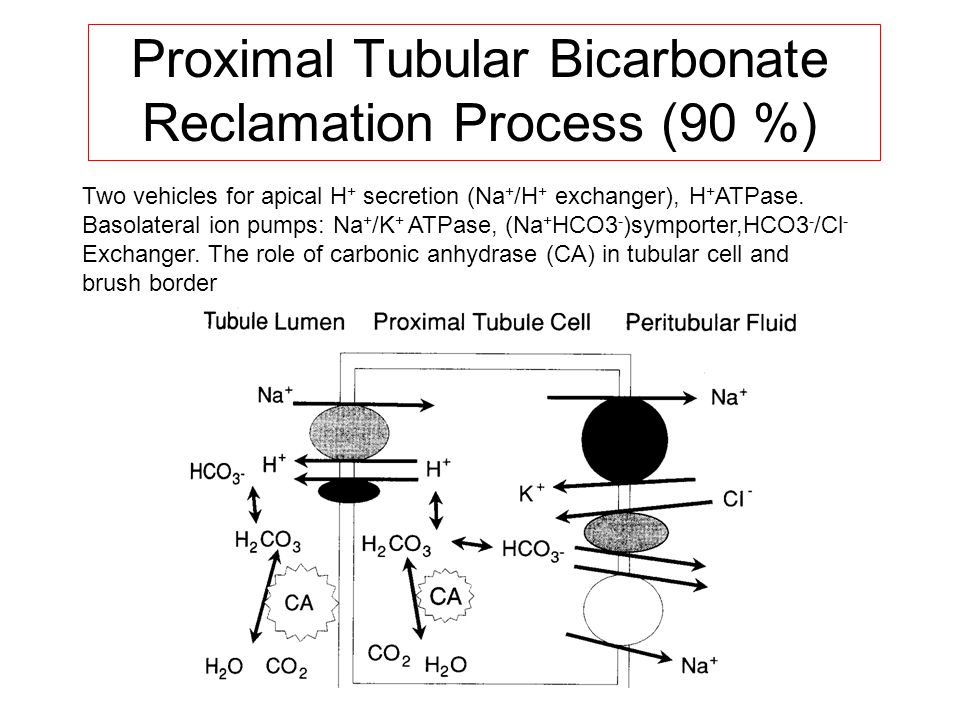 Proximal Tubular Bicarbonate Reclamation Process (90 %) Two vehicles for apical H + secretion (Na + /H + exchanger), H + ATPase. Basolateral ion pumps