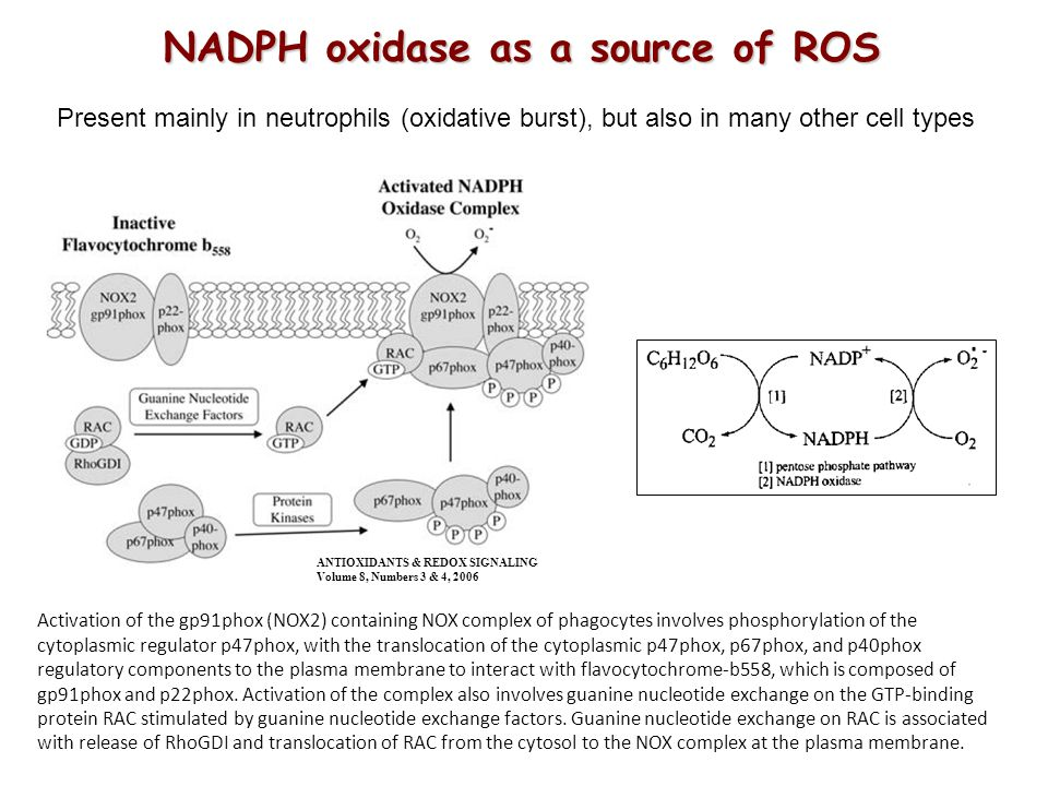 NADPH oxidase as a source of ROS Present mainly in neutrophils (oxidative burst), but also in many other cell types Activation of the gp91phox (NOX2) containing NOX complex of phagocytes involves phosphorylation of the cytoplasmic regulator p47phox, with the translocation of the cytoplasmic p47phox, p67phox, and p40phox regulatory components to the plasma membrane to interact with flavocytochrome-b558, which is composed of gp91phox and p22phox.
