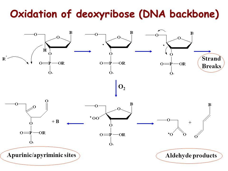 Oxidation of deoxyribose (DNA backbone) + B + Strand Breaks Aldehyde products Apurinic/apyriminic sites O2O2