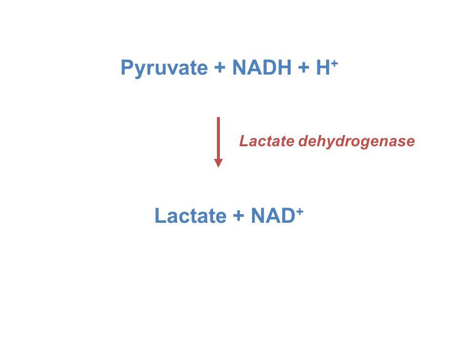 Pyruvate + NADH + H + Lactate + NAD + Lactate dehydrogenase