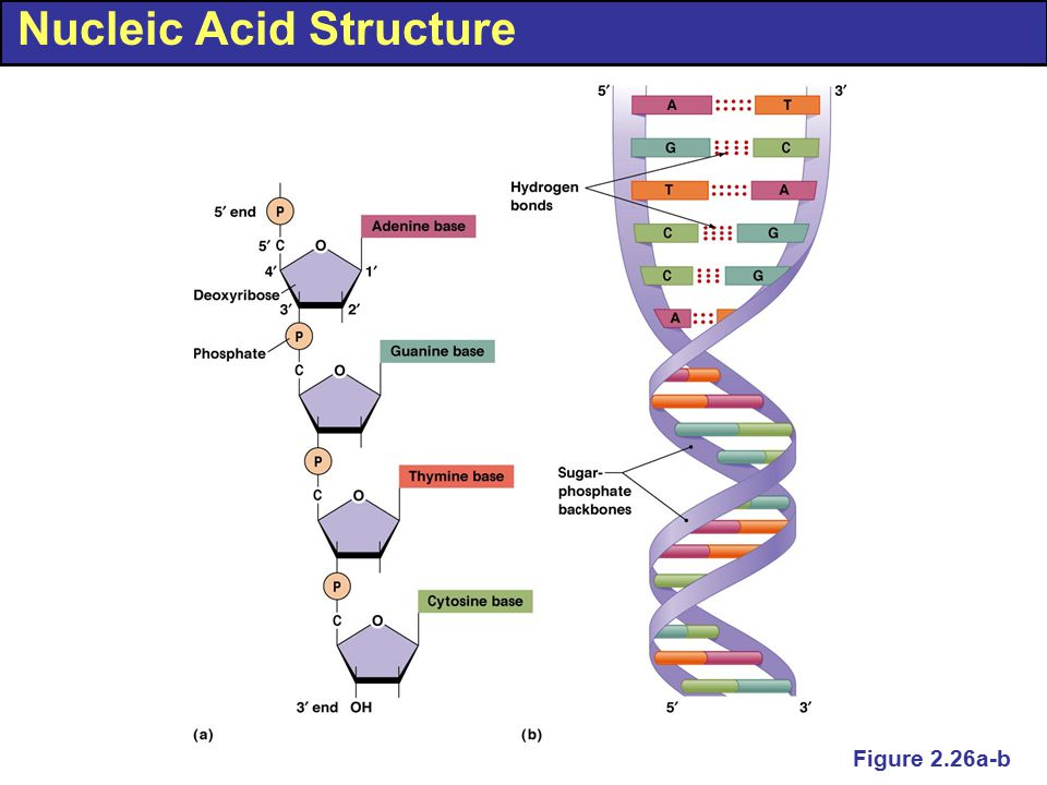 Nucleic Acid Structure Figure 2.26a-b