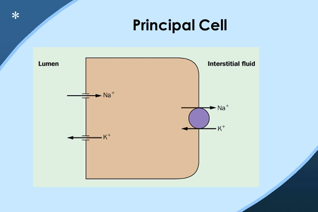 Principal Cell *