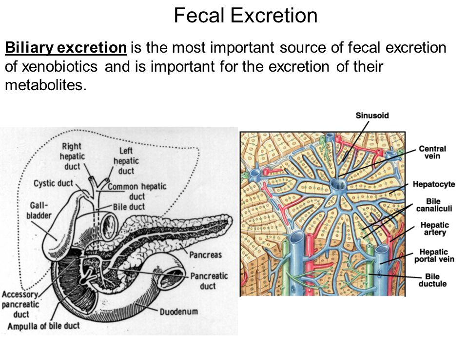 Fecal Excretion Biliary excretion is the most important source of fecal excretion of xenobiotics and is important for the excretion of their metabolites.