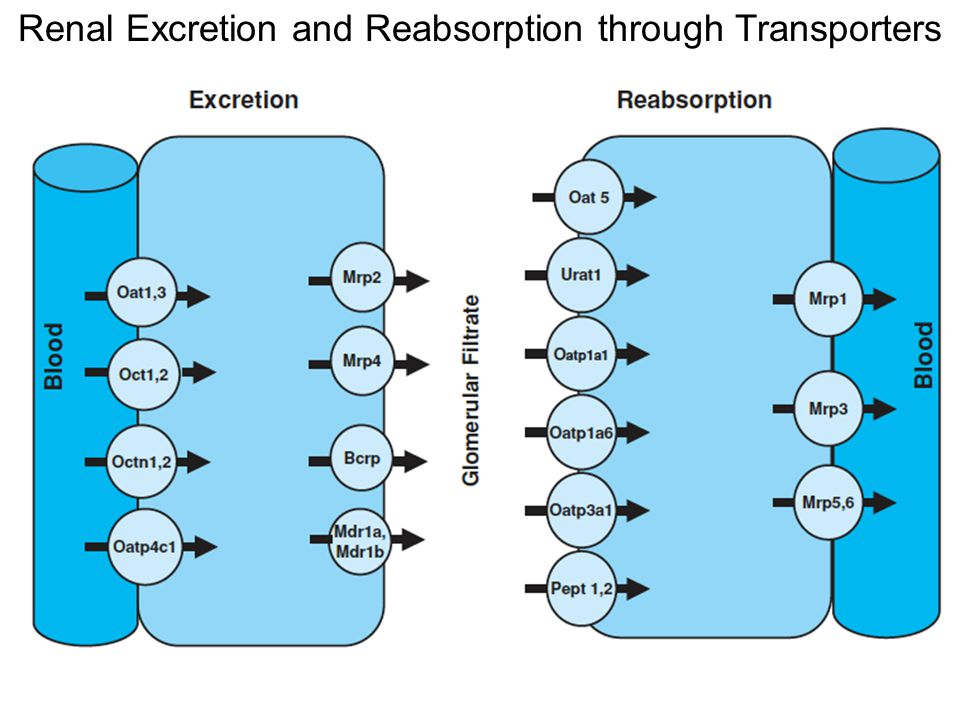 Renal Excretion and Reabsorption through Transporters