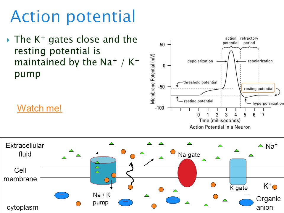  The K + gates close and the resting potential is maintained by the Na + / K + pump Cell membrane cytoplasm Extracellular fluid K+K+ Na + Organic ani
