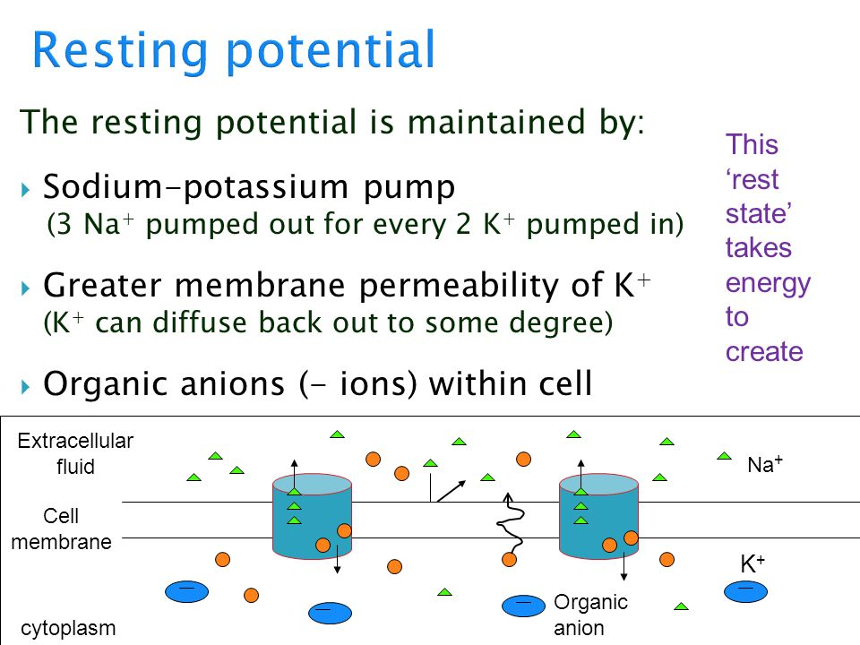 The resting potential is maintained by:  Sodium-potassium pump (3 Na + pumped out for every 2 K + pumped in)  Greater membrane permeability of K + (