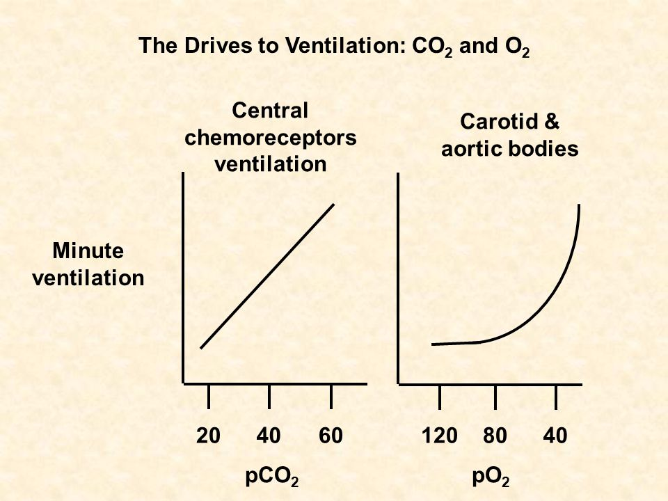 Minute ventilation pCO 2 pO 2 Central chemoreceptors ventilation Carotid & aortic bodies 2040604080120 The Drives to Ventilation: CO 2 and O 2