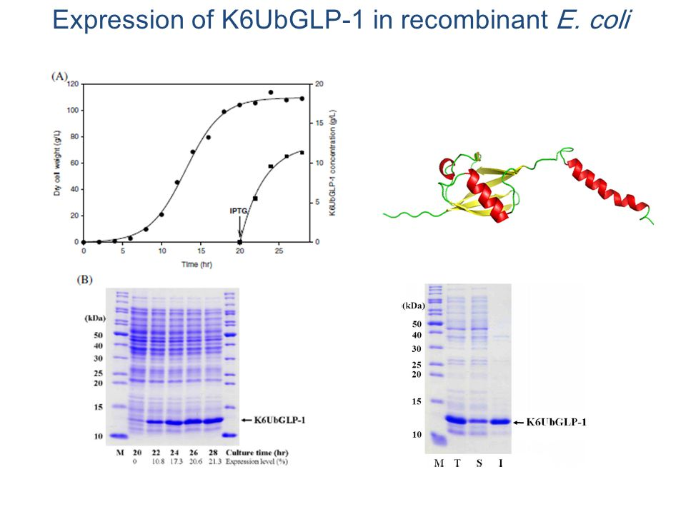 Expression of K6UbGLP-1 in recombinant E. coli