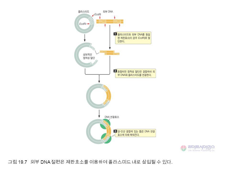 그림 19.7 외부 DNA 절편은 제한효소를 이용하여 플라스미드 내로 삽입될 수 있다.