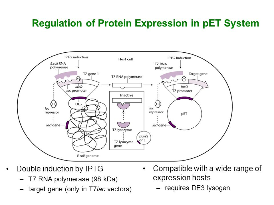 Regulation of Protein Expression in pET System Double induction by IPTG –T7 RNA polymerase (98 kDa) –target gene (only in T7lac vectors) Compatible with a wide range of expression hosts –requires DE3 lysogen