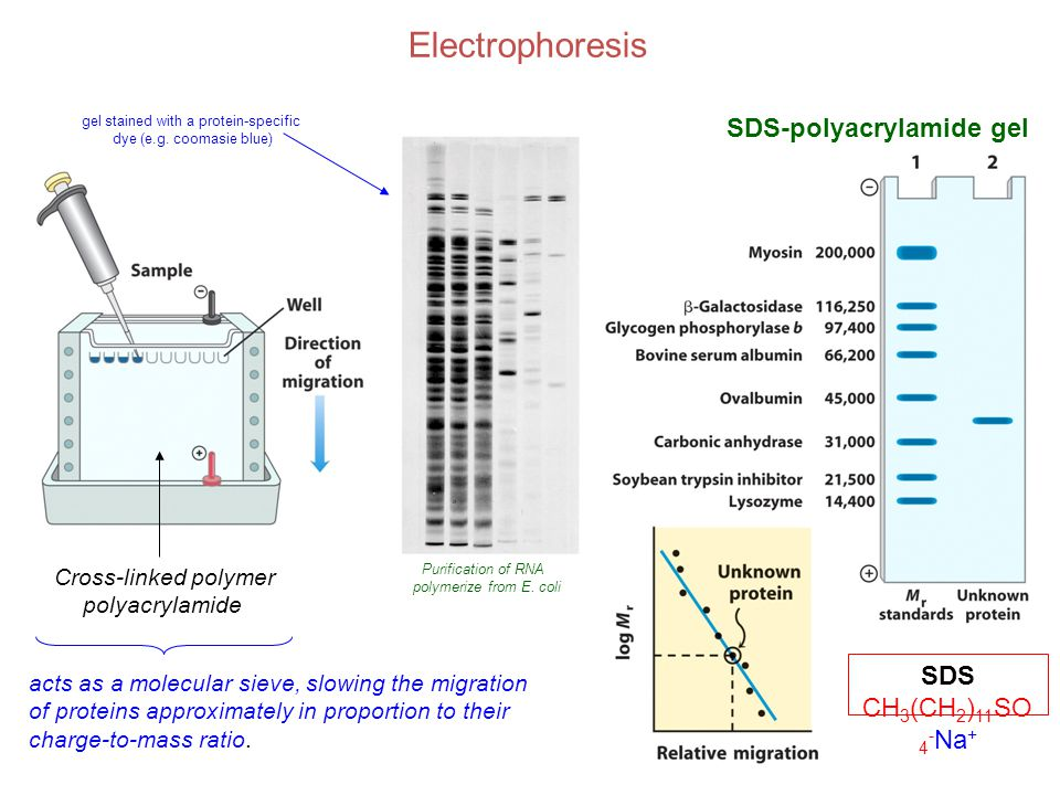 Electrophoresis Cross-linked polymer polyacrylamide acts as a molecular sieve, slowing the migration of proteins approximately in proportion to their charge-to-mass ratio.