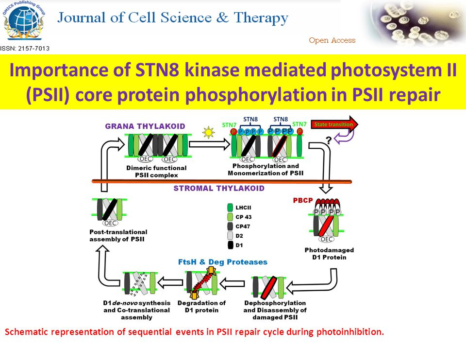 Importance of STN8 kinase mediated photosystem II (PSII) core protein phosphorylation in PSII repair Schematic representation of sequential events in PSII repair cycle during photoinhibition.