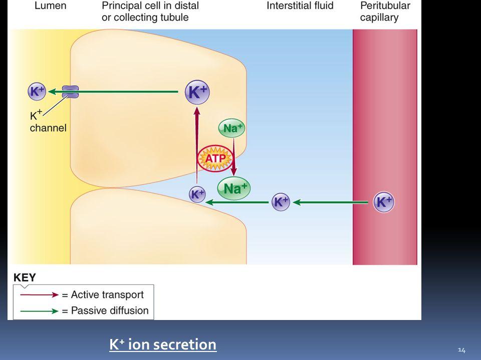 14 K + ion secretion