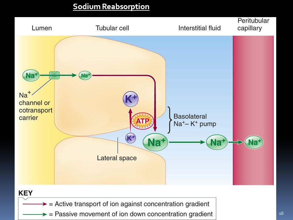 18 Sodium Reabsorption