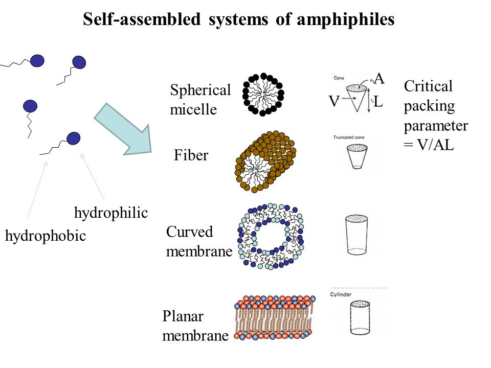 Self-assembled systems of amphiphiles Critical packing parameter = V/AL Spherical micelle Fiber Curved membrane Planar membrane hydrophilic hydrophobi