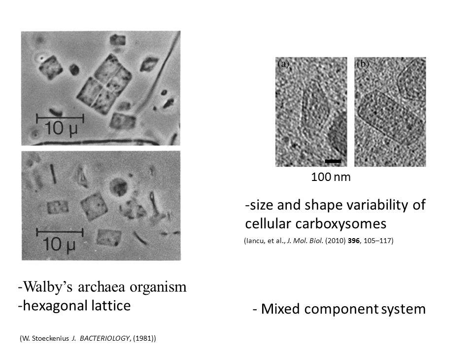 - Walby's archaea organism -hexagonal lattice (W. Stoeckenius J.