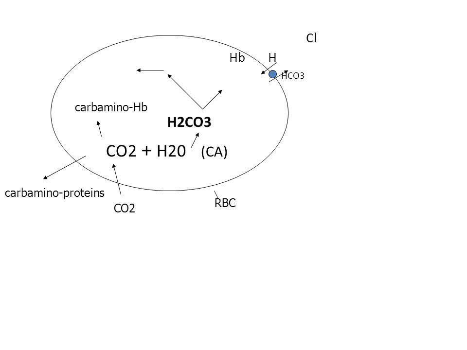 Cl Hb H HCO3 H2CO3 CO2 + H20 (CA) CO2 carbamino-proteins RBC carbamino-Hb