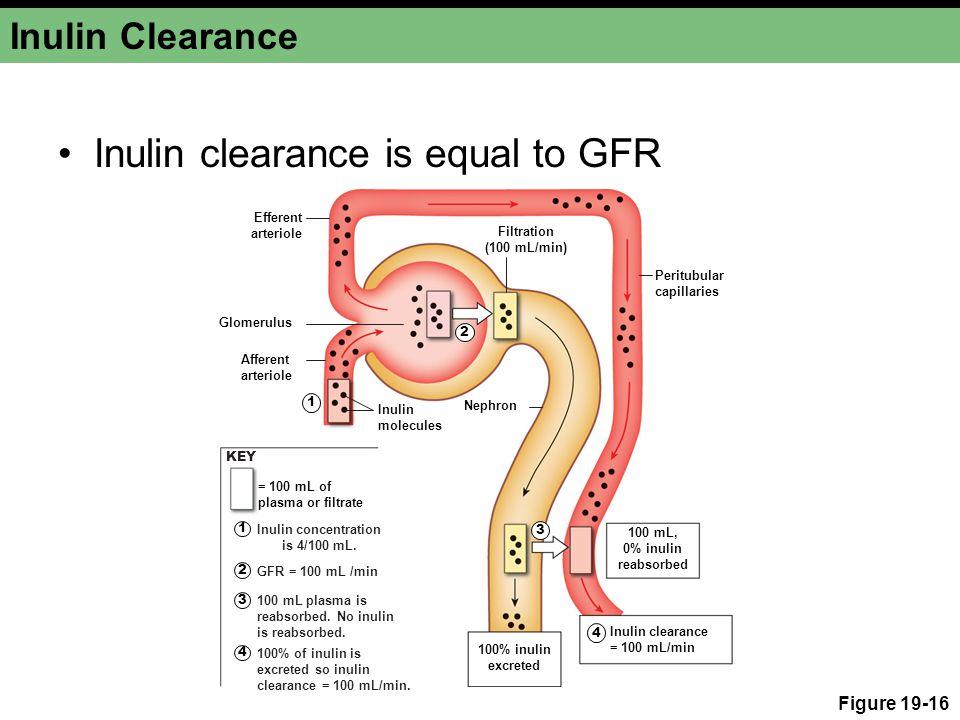 Inulin Clearance Inulin clearance is equal to GFR Figure 19-16 Glomerulus Peritubular capillaries Afferent arteriole Efferent arteriole Nephron Filtra