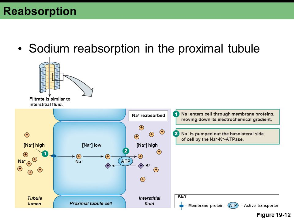 Reabsorption Figure 19-12 [Na + ] high [Na + ] low K+K+ Na + ATP Proximal tubule cell Interstitial fluid Tubule lumen Na + reabsorbed Na + enters cell