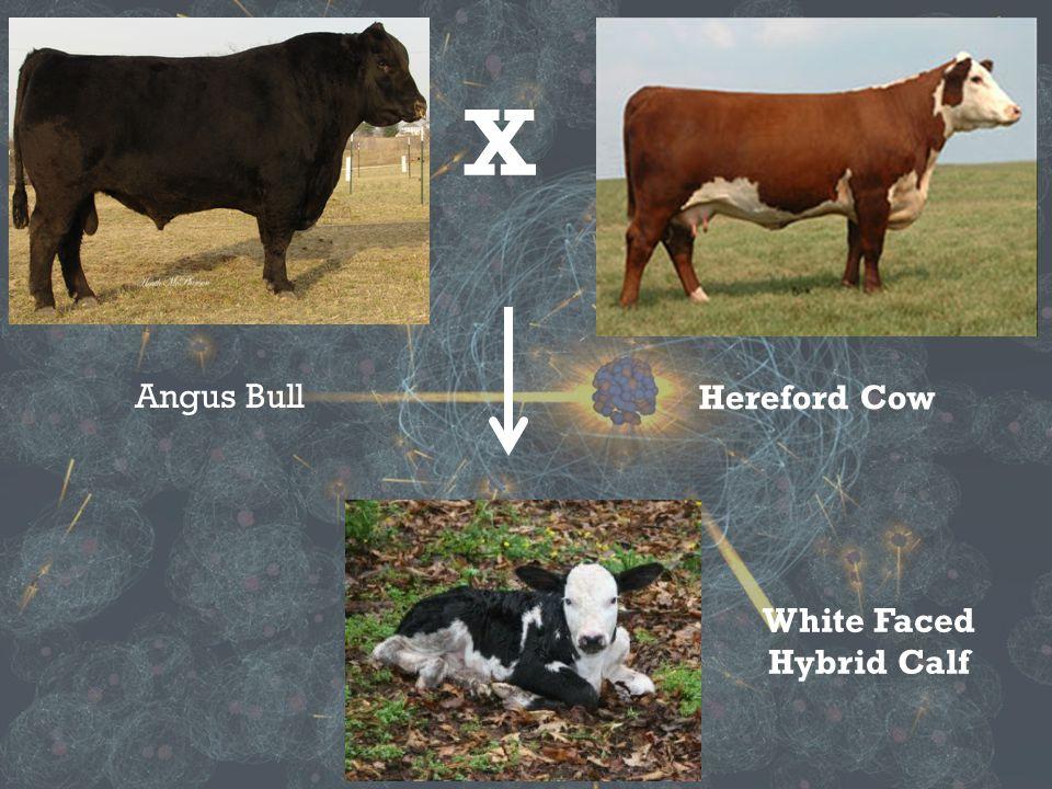 X Angus Bull Hereford Cow White Faced Hybrid Calf