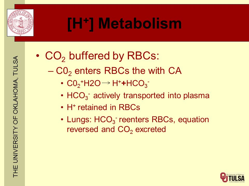 THE UNIVERSITY OF OKLAHOMA, TULSA [H + ] Metabolism CO 2 buffered by RBCs: –C0 2 enters RBCs the with CA C0 2 + H2O H + +HCO 3 - HCO 3 - actively tran