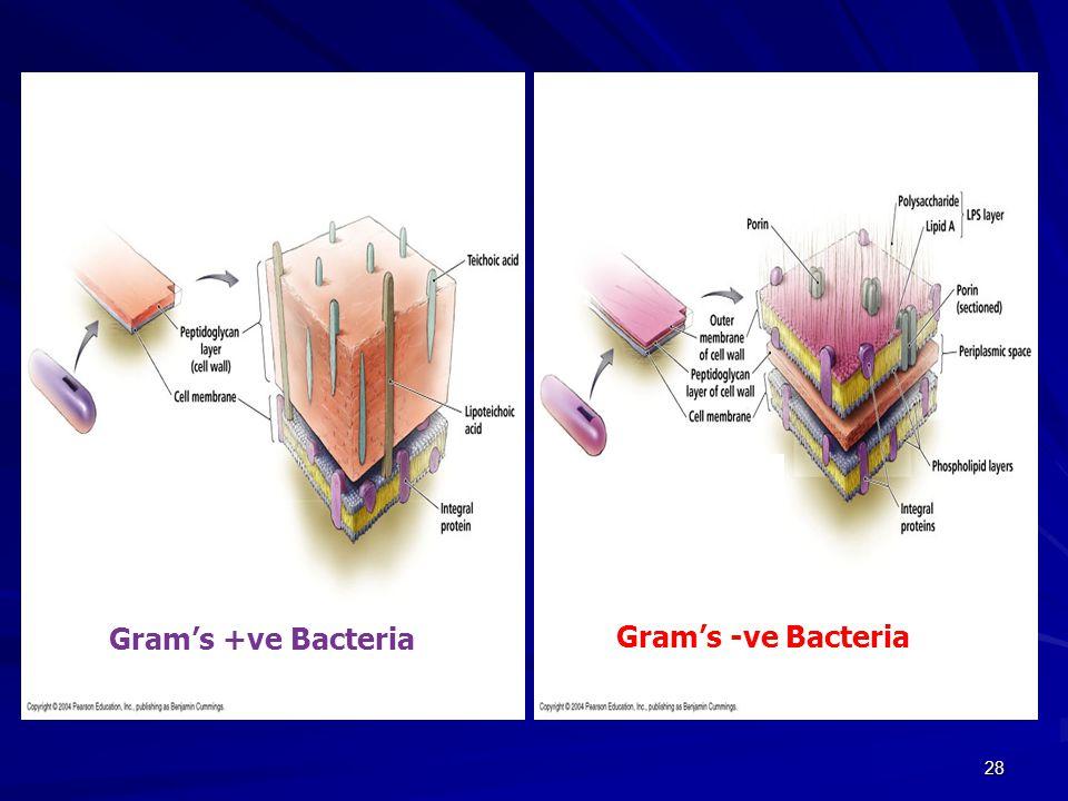 28 Gram's +ve Bacteria Gram's -ve Bacteria