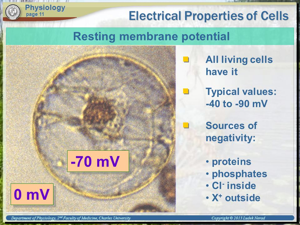 Electrical Properties of Cells Physiology page 11 Resting membrane potential All living cells have it Typical values: -40 to -90 mV 0 mV -70 mV Sources of negativity: proteins phosphates Cl - inside X + outside Department of Physiology, 2 nd Faculty of Medicine, Charles University Copyright © 2013 Ludek Nerad