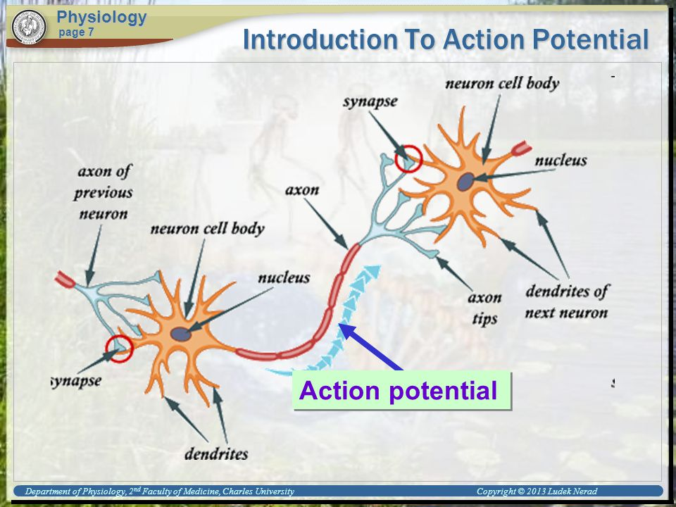 Introduction To Action Potential Physiology page 7 Action potential Department of Physiology, 2 nd Faculty of Medicine, Charles University Copyright © 2013 Ludek Nerad