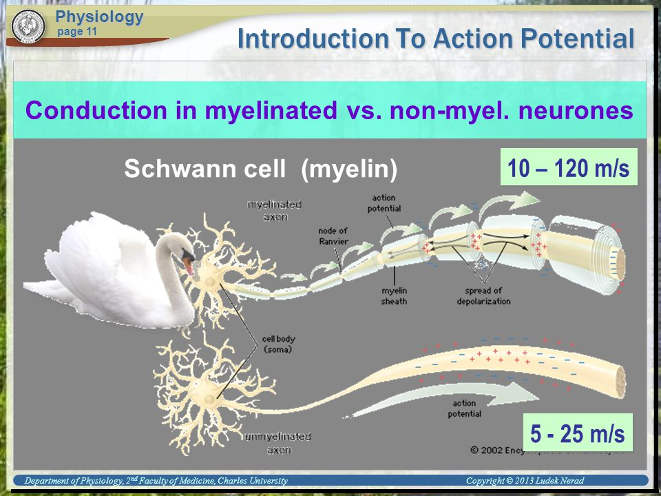Introduction To Action Potential Physiology page 11 Conduction in myelinated vs.