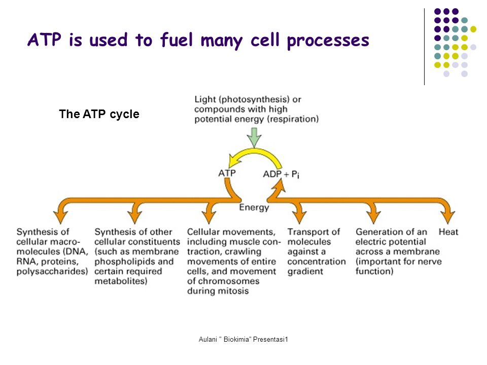 Aulani Biokimia Presentasi1 ATP is used to fuel many cell processes The ATP cycle