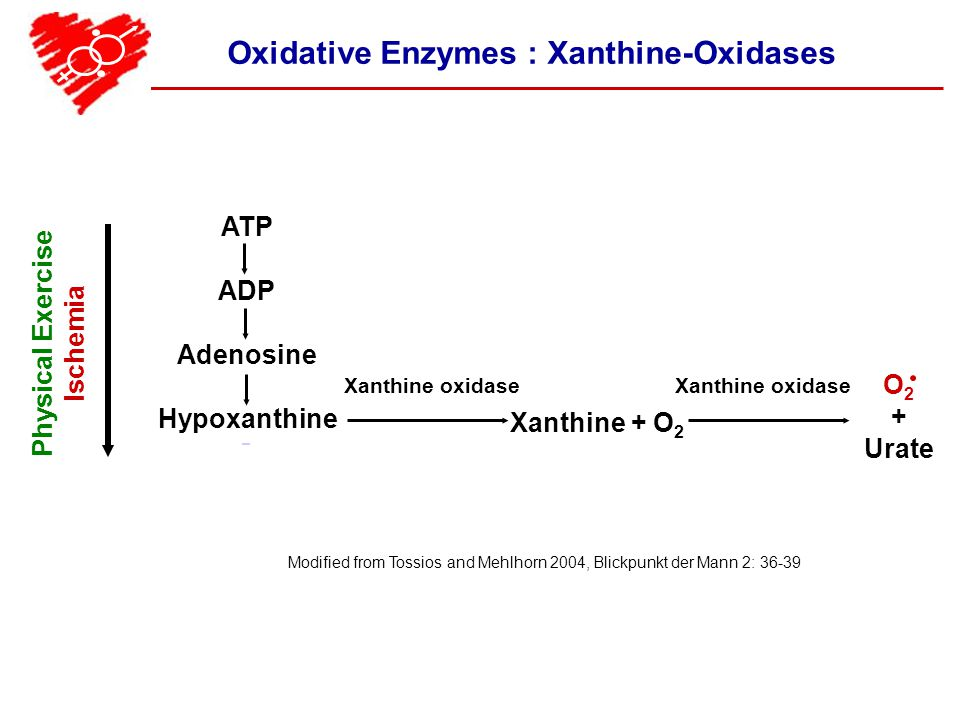 Oxidative Enzymes : Xanthine-Oxidases Modified from Tossios and Mehlhorn 2004, Blickpunkt der Mann 2: 36-39 Physical Exercise Ischemia ATP ADP Adenosine Hypoxanthine Xanthine oxidase Xanthine + O 2 Xanthine oxidase O 2 + Urate