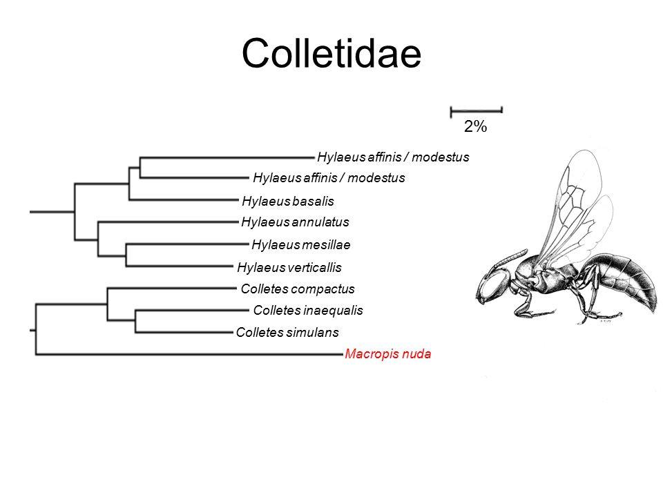 Colletidae Hylaeus affinis / modestus Hylaeus basalis Hylaeus annulatus Hylaeus mesillae Hylaeus verticallis Colletes compactus Colletes inaequalis Colletes simulans Macropis nuda Perdita octomaculata 2%