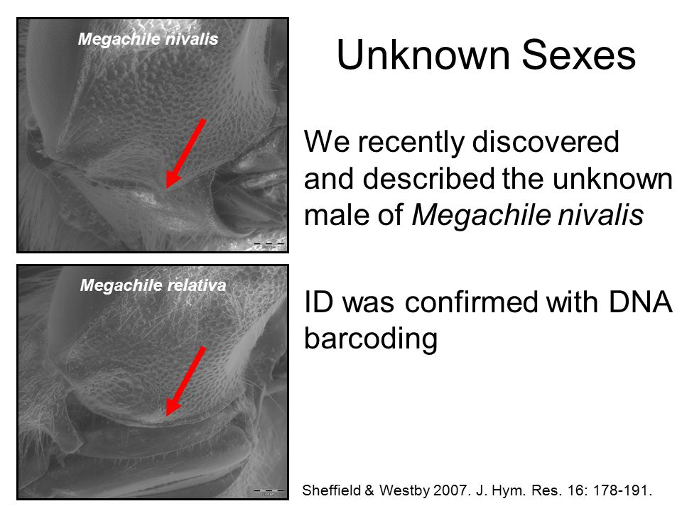 Unknown Sexes We recently discovered and described the unknown male of Megachile nivalis ID was confirmed with DNA barcoding Sheffield & Westby 2007.