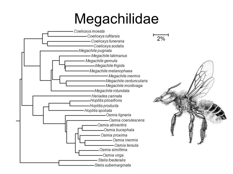 Megachilidae Coelioxys moesta Coelioxys funeraria Coelioxys rufitarsis Coelioxys sodalis Megachile pugnata Megachile latimanus Megachile gemula Megach