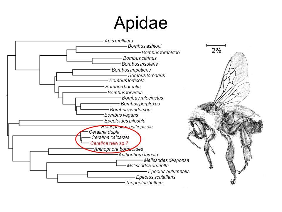 Apidae Apis mellifera Bombus ashtoni Bombus fernaldae Bombus citrinus Bombus insularis Bombus impatiens Bombus ternarius Bombus terricola Bombus borea