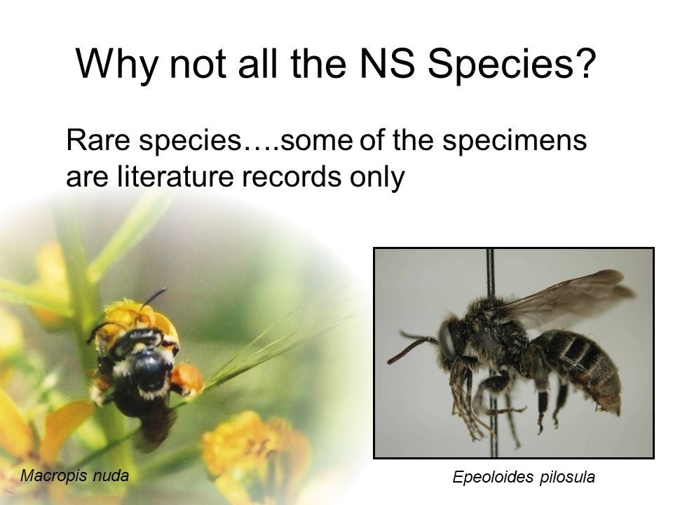 Epeoloides pilosula Why not all the NS Species? Rare species….some of the specimens are literature records only Macropis nuda