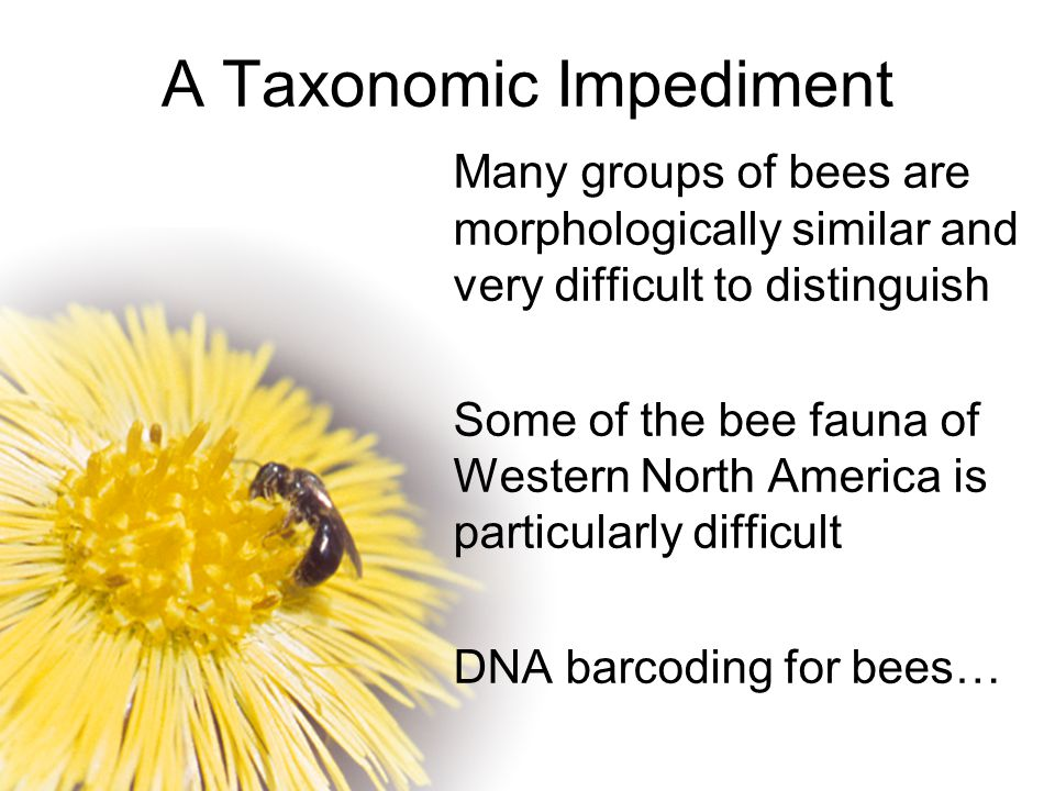 A Taxonomic Impediment Many groups of bees are morphologically similar and very difficult to distinguish Some of the bee fauna of Western North Americ