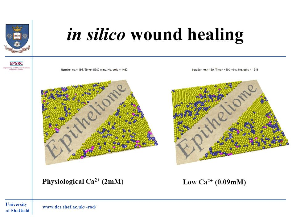 University of Sheffield www.dcs.shef.ac.uk/~rod/ in silico wound healing Physiological Ca 2+ (2mM) Low Ca 2+ (0.09mM)