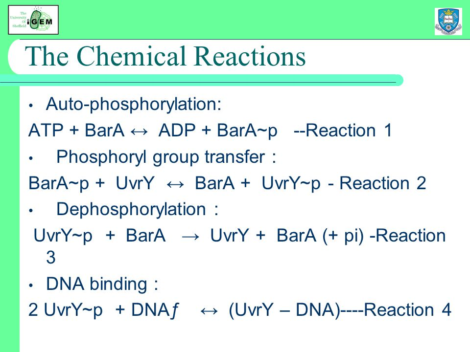 The Chemical Reactions Auto-phosphorylation: ATP + BarA ↔ ADP + BarA~p --Reaction 1 Phosphoryl group transfer : BarA~p + UvrY ↔ BarA + UvrY~p - Reaction 2 Dephosphorylation : UvrY~p + BarA → UvrY + BarA (+ pi) -Reaction 3 DNA binding : 2 UvrY~p + DNAƒ ↔ (UvrY – DNA)----Reaction 4