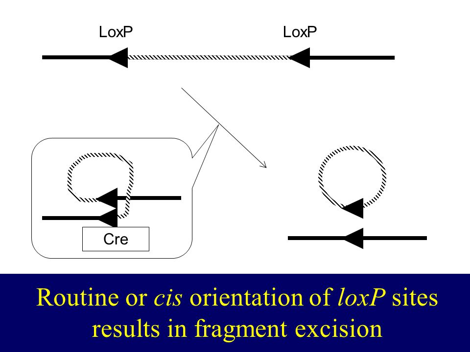CRE loxP LoxP Cre Routine or cis orientation of loxP sites results in fragment excision