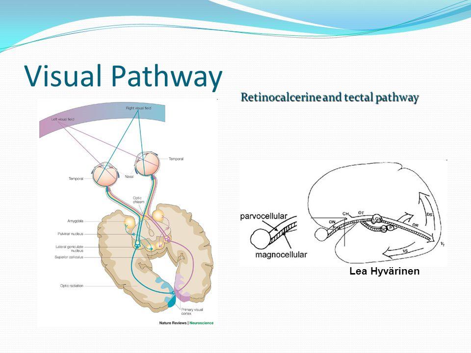 Visual Pathway Retinocalcerine and tectal pathway Lea Hyvärinen