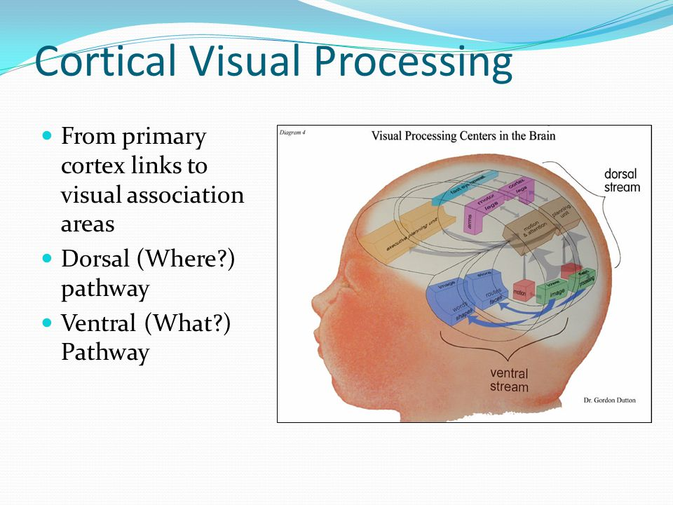 Cortical Visual Processing From primary cortex links to visual association areas Dorsal (Where?) pathway Ventral (What?) Pathway