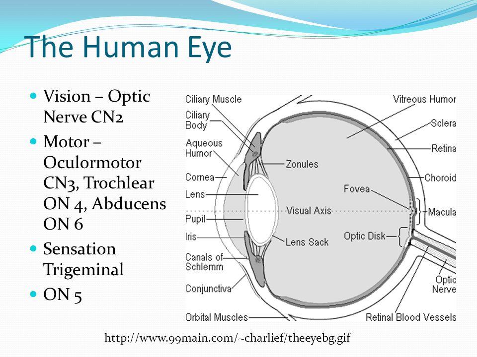 The Human Eye Vision – Optic Nerve CN2 Motor – Oculormotor CN3, Trochlear ON 4, Abducens ON 6 Sensation Trigeminal ON 5 http://www.99main.com/~charlie