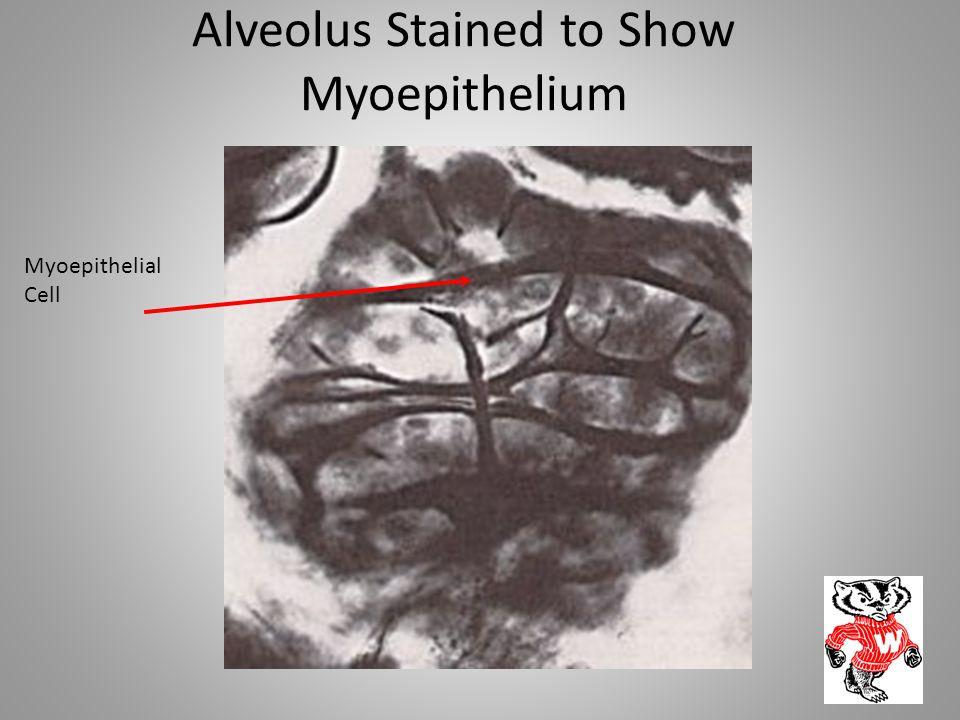 Alveolus Stained to Show Myoepithelium Myoepithelial Cell
