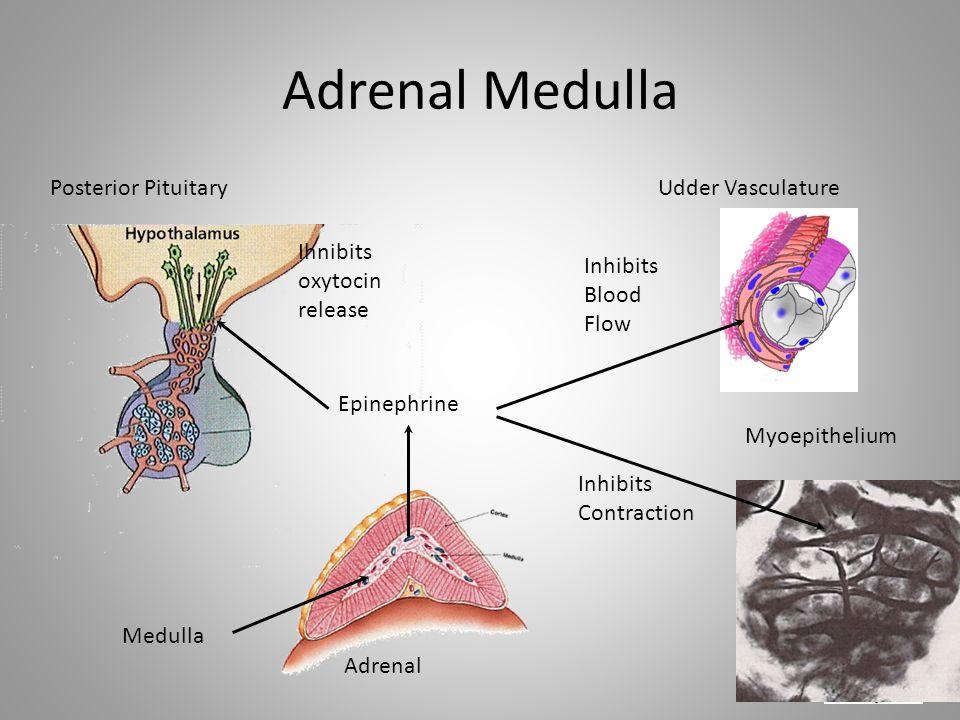 Adrenal Medulla Myoepithelium Udder VasculaturePosterior Pituitary Adrenal Medulla Epinephrine Ihnibits oxytocin release Inhibits Blood Flow Inhibits Contraction