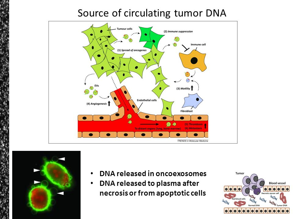 Source of circulating tumor DNA DNA released in oncoexosomes DNA released to plasma after necrosis or from apoptotic cells