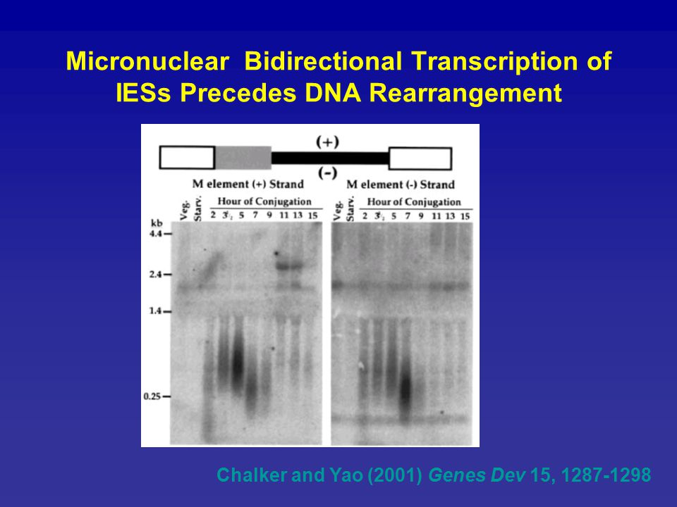 Micronuclear Bidirectional Transcription of IESs Precedes DNA Rearrangement Chalker and Yao (2001) Genes Dev 15, 1287-1298