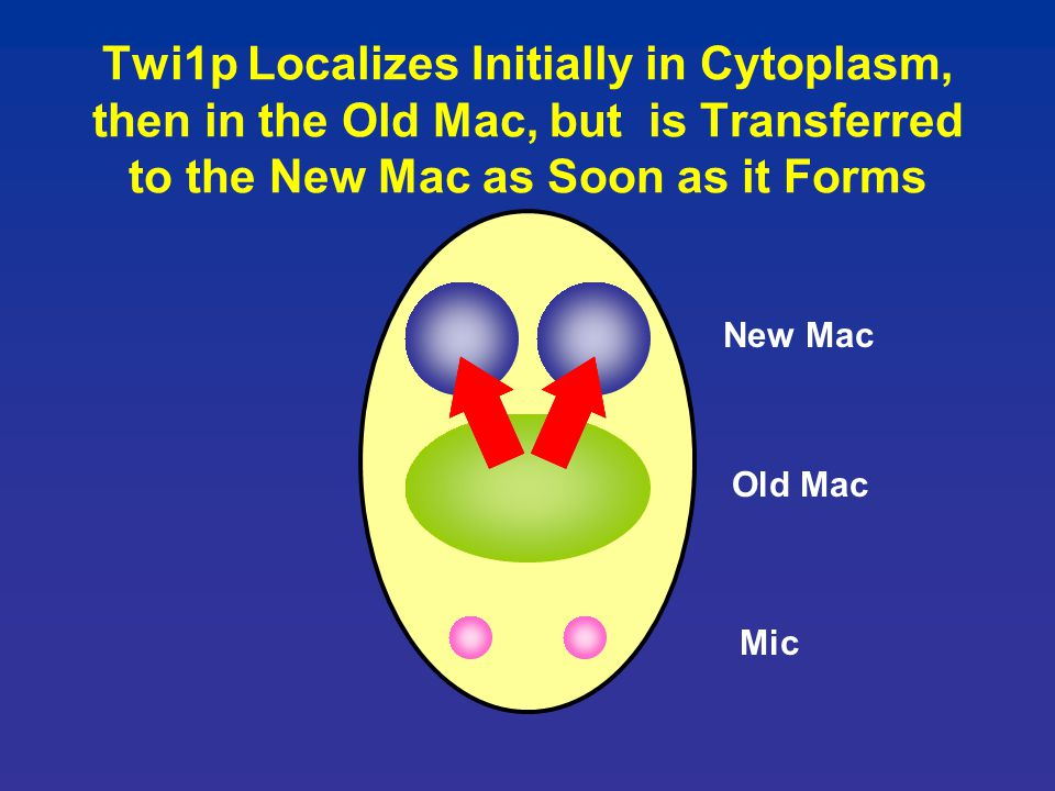 Twi1p Localizes Initially in Cytoplasm, then in the Old Mac, but is Transferred to the New Mac as Soon as it Forms Old Mac Mic New Mac
